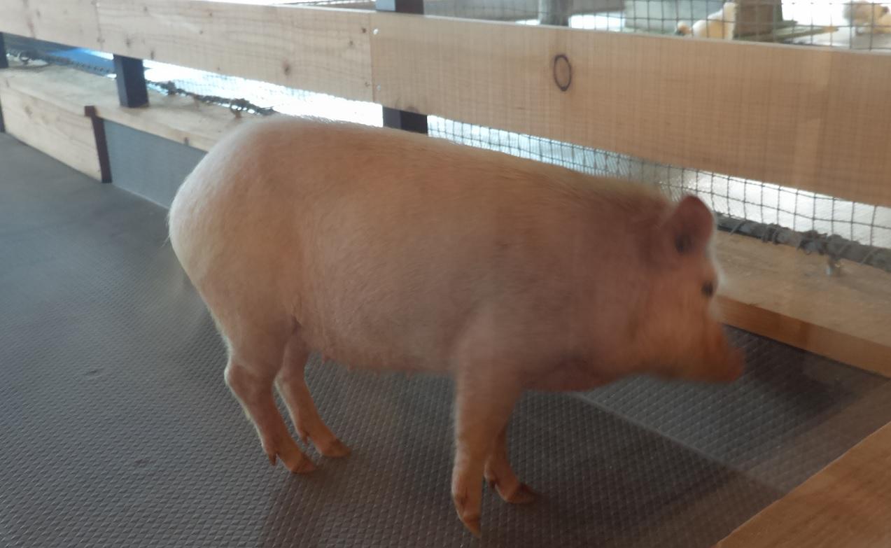 大手町牧場豚画像01