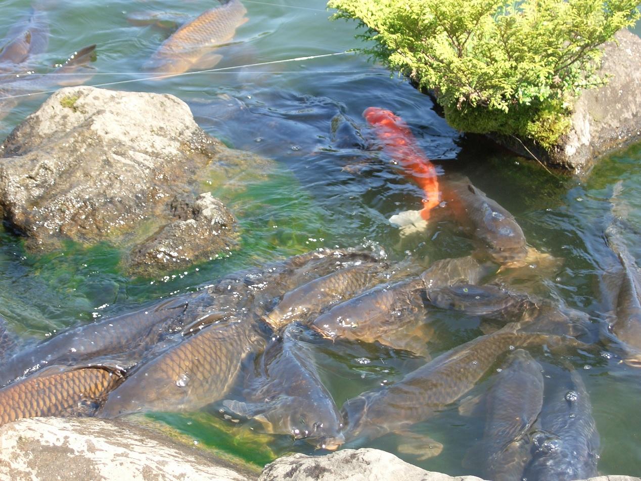 牛久大仏池の鯉